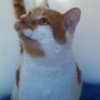 Domestic Shorthair Cat for adoption in Calimesa, California - Mr. Blondie