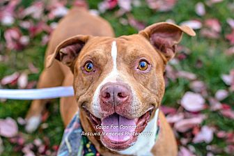 American Pit Bull Terrier/American Staffordshire Terrier Mix Dog for adoption in Columbus, Ohio - Dee