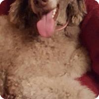 Adopt A Pet :: Latte - Alpharetta, GA