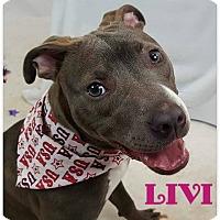 Adopt A Pet :: Livi - Toledo, OH