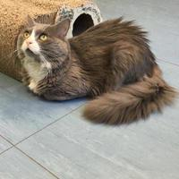 Maine Coon/Domestic Longhair Mix Cat for adoption in Allentown, Pennsylvania - Hercules