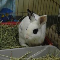 Adopt A Pet :: Warrior - Bedford, NH