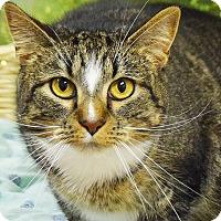 Adopt A Pet :: Boots - Huntley, IL