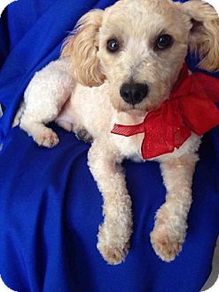 Poodle (Miniature) Mix Dog for adoption in Irvine, California - Rocky