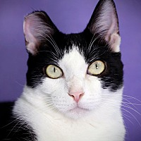 Domestic Shorthair Cat for adoption in Encino, California - William
