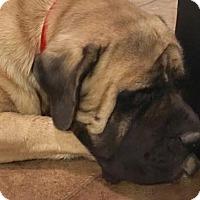 Adopt A Pet :: Ozzie - Goodyear, AZ