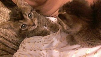 Domestic Shorthair Kitten for adoption in San Antonio, Texas - A445497 Mika