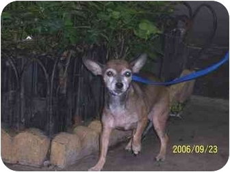 Chihuahua Mix Dog for adoption in Long Beach, New York - Serena