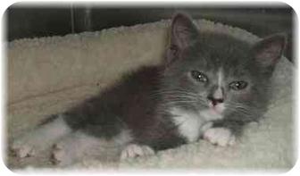 Domestic Shorthair Kitten for adoption in Naples, Florida - Sydney