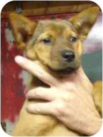 Terrier (Unknown Type, Medium)/Shepherd (Unknown Type) Mix Puppy for adoption in Old Bridge, New Jersey - Cady