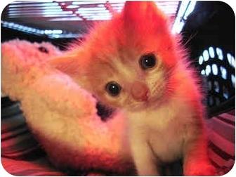 Domestic Shorthair Kitten for adoption in Brooklyn, New York - Noah