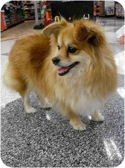 Pomeranian/Corgi Mix Dog for adoption in San Dimas, California - Wilson
