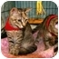 Photo 2 - Domestic Shorthair Kitten for adoption in Englewood, Florida - Gizmo