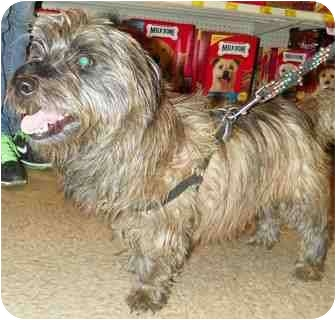 Cairn Terrier Mix Dog for adoption in Loudonville, New York - Ollie