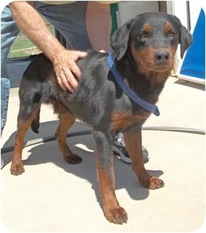 Rottweiler/Labrador Retriever Mix Dog for adoption in Gaffney, South Carolina - Denzel