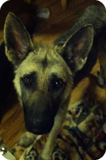German Shepherd Dog Dog for adoption in Cranford, New Jersey - Riley