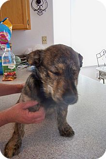 Corgi/Shepherd (Unknown Type) Mix Puppy for adoption in Sierra Vista, Arizona - Bingo