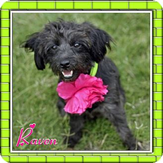 Schnauzer (Standard) Mix Dog for adoption in Corpus Christi, Texas - Raven