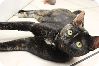 Domestic Shorthair Kitten for adoption in Chicago, Illinois - Candy