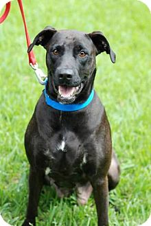 Labrador Retriever Mix Dog for adoption in New Boston, Michigan - Angie