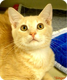 Domestic Shorthair Kitten for adoption in Key Largo, Florida - Ginger
