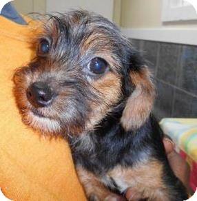 Yorkie, Yorkshire Terrier/Terrier (Unknown Type, Small) Mix Puppy for adoption in Bartonsville, Pennsylvania - Maddie