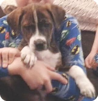 Labrador Retriever/Boxer Mix Puppy for adoption in Coal City, West Virginia - Stripe