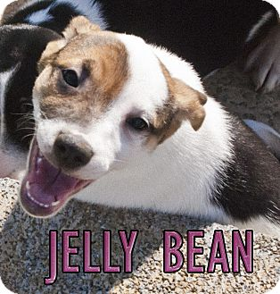 German Shorthaired Pointer/Jack Russell Terrier Mix Puppy for adoption in Mechanicsburg, Pennsylvania - Jellybean