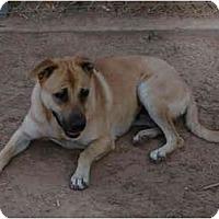 Adopt A Pet :: Wrinkles - Gilbert, AZ