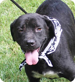 Labrador Retriever/Boxer Mix Dog for adoption in Chapel Hill, North Carolina - Mopsy