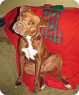 Labrador Retriever/Staffordshire Bull Terrier Mix Dog for adoption in Toluca Lake, California - Jada