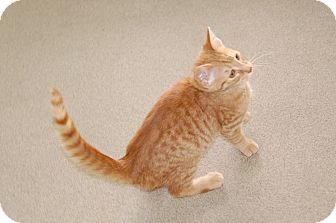 Domestic Shorthair Kitten for adoption in Bucyrus, Ohio - Bob The Builder