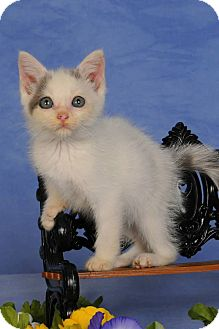 Domestic Shorthair Kitten for adoption in mishawaka, Indiana - Clyde