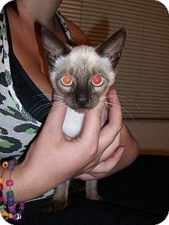 Siamese Kitten for adoption in Hurricane, Utah - Mystique *courtesy posting*