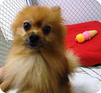 Pomeranian Mix Dog for adoption in Kalamazoo, Michigan - Patches
