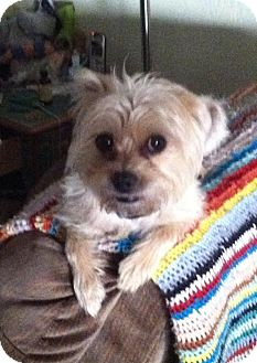 Brussels Griffon/Terrier (Unknown Type, Small) Mix Dog for adoption in Phoenix, Arizona - Chewy