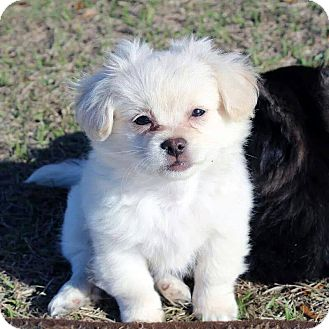 Pekingese/Chihuahua Mix Puppy for adoption in Gainesville, Florida - Robb