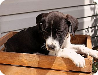 Labrador Retriever Mix Puppy for adoption in New Oxford, Pennsylvania - Rafiki