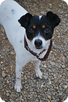 Jack Russell Terrier Mix Dog for adoption in Berea, Ohio - Mick