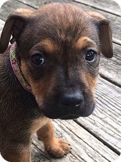Shepherd (Unknown Type) Mix Puppy for adoption in Rochester, Michigan - Firecracker
