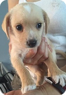 Beagle/Retriever (Unknown Type) Mix Puppy for adoption in Encino, California - Penelope - Constance Pup
