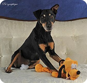 Manchester Terrier Mix Dog for adoption in Las Vegas, Nevada - Bungee
