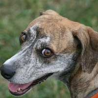 Whippet Mix Dog for adoption in Rockaway, New Jersey - Meep (Vixen SCAS)