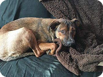 Dachshund/Pit Bull Terrier Mix Dog for adoption in waterbury, Connecticut - Chauncey