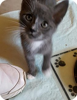 Domestic Shorthair Kitten for adoption in Sterling, Massachusetts - MAX*~adopted