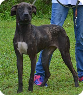 Great Dane/Labrador Retriever Mix Dog for adoption in Lebanon, Missouri - Isabella