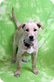Shepherd (Unknown Type) Mix Puppy for adoption in Westminster, Colorado - NELLY