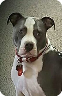 American Bulldog/American Pit Bull Terrier Mix Dog for adoption in Sacramento, California - Lucy, I am a service dog