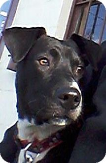 Labrador Retriever Mix Puppy for adoption in Lyndhurst, New Jersey - GLENN