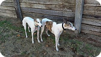 Greyhound Dog for adoption in Cottonwood, Arizona - Yogi (Wild Wooly Bully)